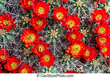 Blooming barrel cactus with red blooms - Large blooming...