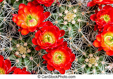 Blooming barrel cactus with red blooms - Close up of bright...