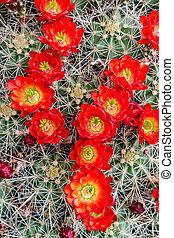 Florecer, barril, cacto, rojo, flores