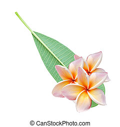 plumeria flowers and leave isolated on white background