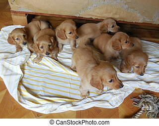 Long Haired Dachshund Pups - A litter of seven beautiful...