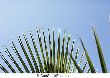 fan palm tree leaves with blue sky in the background