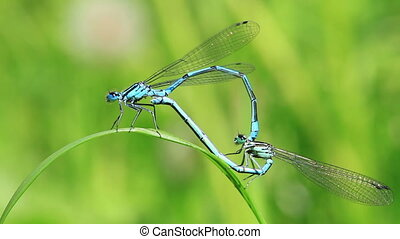 Azure Damselfly - mating - Azure Damselfly - Coenagrion -...
