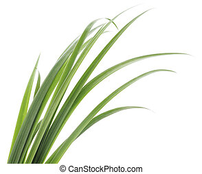 green grass leaves - Long blades of green grass against a...