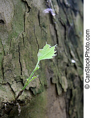 leafgreen born from dry bark a huge secular tree - leafgreen...