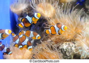 Clown fishes swimming in their anemone