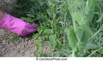 hand grub weeds pea plant - Gardener woman girl hands in...