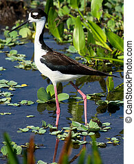 Black-necked Stilt Florida Weltands - Black-necked Stilt...