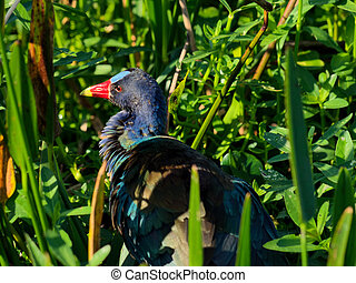 Ruffled Purple Gallinule in Marsh - Purple Gallinule with...