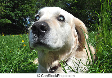 Old Blind Labrador Dog - Old blind Labrador dog with cloudy...