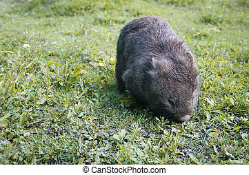 Wombat in the grass - Wombat that is eating grass