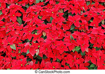 Red poinsettia plants - Background of red poinsettia plants