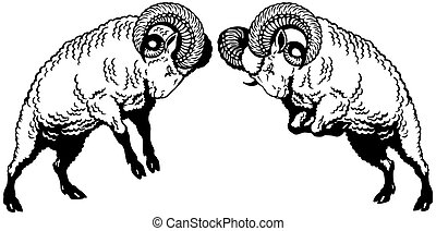 two fighting rams black white - two rams sheep fighting,...