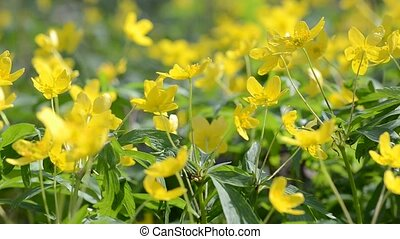 Yellow flowers in the wind.