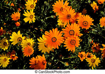 Namaqua Daisy - The Namaqua Daisy, Dimorphotheca sinuata, is...