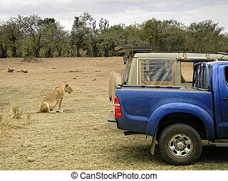 close encounter with lioness