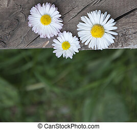 daisies - Daisies on the old wooden plank and blurred green...
