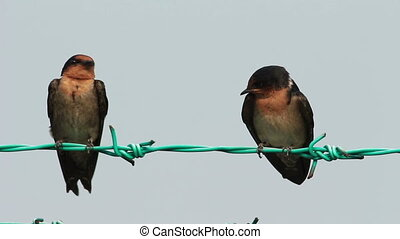 Barn Swallow on The Fence - Two Little Swallow bird on the...