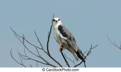 Black Shoulder Kite 04 - Black Shouldered Kite Eagle (Elanus...