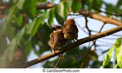 Sleepy Birds 6 - Scaly Breasted Munia chicks trying to take...