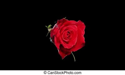 Blooming red roses flower buds ALPHA matte, FULL HD Rose Red...