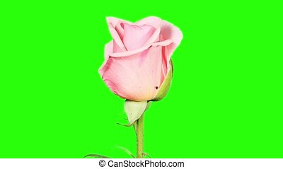 Blooming pink roses flower buds green screen, FULL HD Rose...