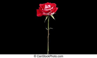 Blooming red roses flower buds ALPHA matte, FULL HD. (Rose...