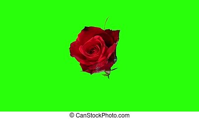 Blooming red roses flower buds green screen, FULL HD Rose...