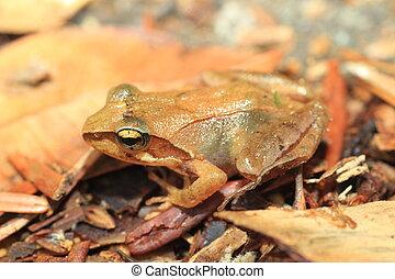 Tagos Brown Frog Rana tagoi tagoi in Japan