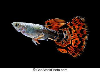 guppy, peixe, isolado, pretas