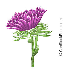 Beautiful purple aster isolated on white background....
