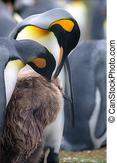 Emperor penguins family on Falkland islads