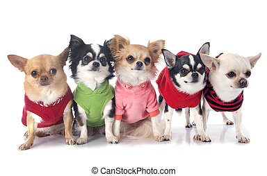 dressed chihuahuas in front of white background