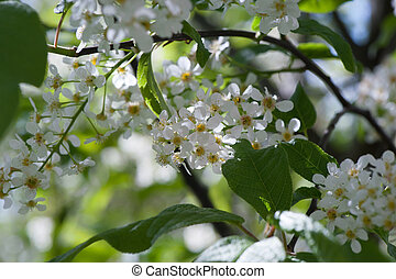 Blooming cherry tree in spring