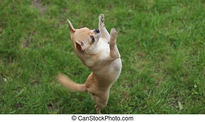 chihuahua jumping on two legs - short haired chihuahua...