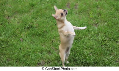 Chihuahua asks treat on two legs - short haired chihuahua...