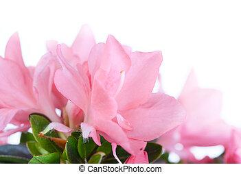 florescer, azaléia, Cor-de-rosa, cor, fim, cima