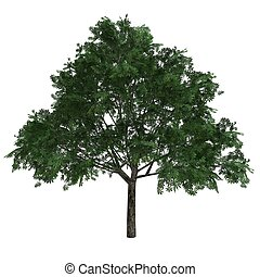 tree Aesculus Glabra isolated on white background