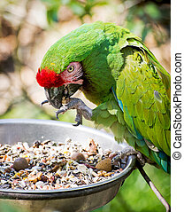 Mexican military macaw Ara militaris mexicana eats seeds