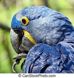 jacinto, papagallo, (Anodorhynchus, hyacinthinus)