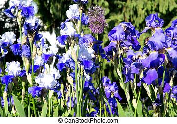 azul, Gladiolas