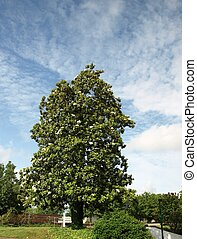 Tall magnolia - A old southern magnolia tree in the spring...