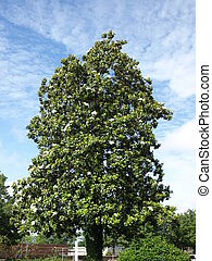 Big southern magnolia - A old southern magnolia tree in the...