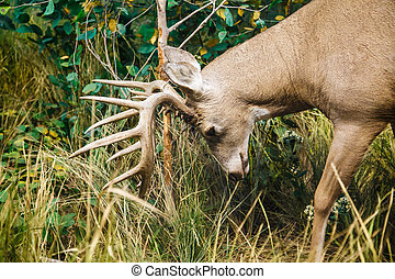 Buck Scraping Antlers - A male white-tailed deer scraping...