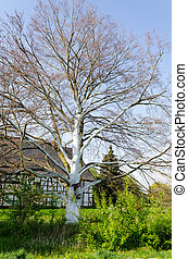 Tree with white bark - Big old tree without leaves with...