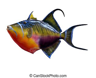 Queen Triggerfish - Colorful Queen Trigger fish isolated...
