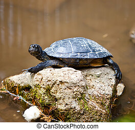 Turtle small on a stone in a pond