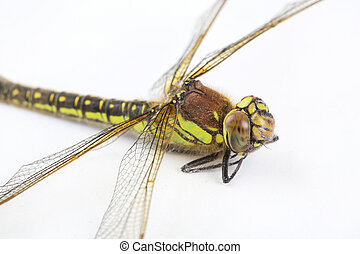 close up of stripey green dragonfly on white background