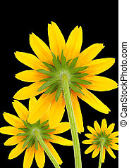 Yellow Coneflowers on Black Background
