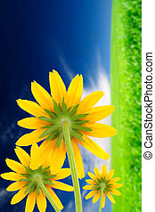 Yellow Flowers (Coneflowers) on Beautiful Summer Background